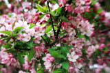 Cherry Blossoms, Spring 2013