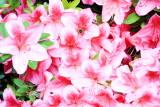 Bee in flower, International Rose Test Garden, Portland, Oregon