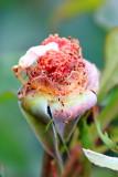 Dying rose, International Rose Test Garden, Portland, Oregon