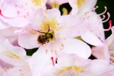 Bee, flower, gardens, Pittock Mansion, Portland, Oregon