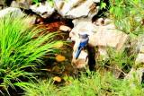 Blue jay, Lan Su Chinese Garden, Portland, Oregon