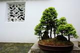 Bonsai, Lan Su Chinese Garden, Portland, Oregon