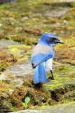 Blue jay, Portland,  Oregon