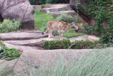Lioness, Lincoln Park, Zoo, Chicago