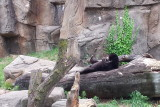 Sun Bear, sunbathing, Lincoln Park Zoo, Chicago