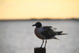 Tern, Key Largo, Florida Keys