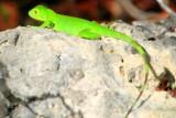 Lizard, National Key Deer Refuge, Big Pine Key, Florida Keys