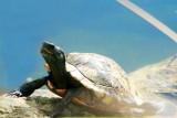 Turtle, National Key Deer Refuge, Big Pine Key, Florida Keys