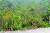 Key Deer, National Key Deer Refuge, Big Pine Key, Florida Keys