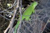Iguana, National Key Deer Refuge, Big Pine Key, Florida Keys