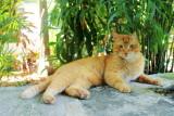 Polydactyl cat, Hemingway Home, Key West