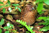 Button Quail, Key West Butterfly and Nature Conservatory, Florida