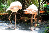 Pink Flamingos, Key West Butterfly and Nature Conservatory, Florida