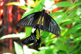 Troides rhadamantus - Golden birdwing, Key West Butterfly and Nature Conservatory, Florida