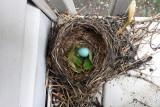 Robin Blue egg, Abandoned nest, Summer 2013