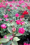 Rose Garden, Chicago Botanic Gardens