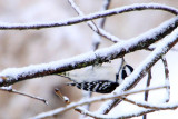 Downy Woodpecker, Chicago, IL