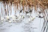 Ducks flying, Savannah National Wildlife Refuge