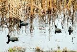 Ducks, Savannah National Wildlife Refuge