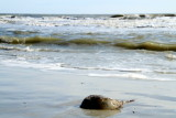 Sting Ray, Coligny beach, Atlantic Ocean