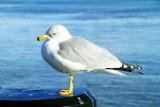 Sea gull, Ashley River, Charleston Historic District
