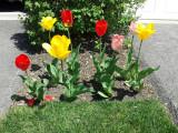 Tulips in Palatine