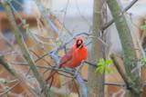 Red Cardinal, Palatine, Illinois