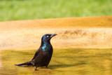 Chicago Botanic Garden bird bath Common Grackle (Quiscalus quiscula)