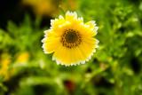 Chicago Botanic Garden sunflower