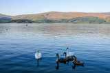 Swans, Loch Lomond, Scotland