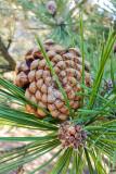 Pine cones, Spring 2015, Chicago