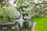 Cherry Blossoms turn white, Fountain, Spring 2015, Chicago