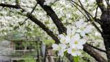 Cherry Blossoms, Spring 2015, Chicago