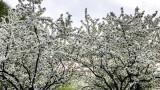 Cherry Blossoms, white, Spring 2015, Chicago