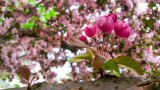 Cherry Blossoms, new life, Spring 2015, Chicago