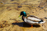 Duck, Lake Titisee, Black Forest, Germany
