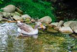 Duck, Open-air Museum, Gutach, Black Forest, Germany