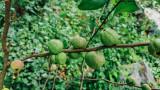 Fruit, Gastatte Schneckenmatt, Gengenbach, Black Forest, Germany