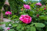 Gardens, rose, Stadtkirche Sankt Marien, Gengenbach, Black Forest, Germany
