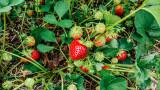 Stade Farm Market, Strawberry picking, Il, Spring 2015