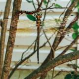 Dragonfly, Palatine, Il, Spring 2015