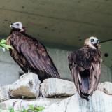 Vulture, Alpenzoo, Innsbruck, Austria
