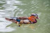 Duck, Englischer Garten, Munich, Bavaria, Germany