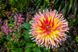 Dahlia, Chicago Botanic Garden, Chicago, Il