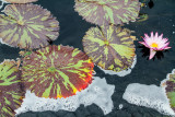 Water Lily, Chicago Botanic Garden, Glencoe, IL