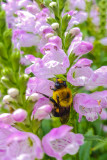 Bee, Chicago Botanic Garden, Glencoe, IL