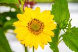 Sunflower, Chicago Botanic Garden, Glencoe, IL
