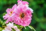 Rose, Bee, Chicago Botanic Garden, Glencoe, IL