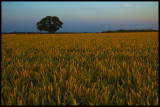ripening wheat low res copy.jpg