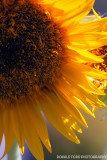 Sunning Sunflower